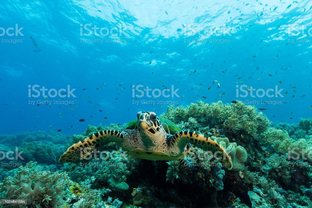 loggerhead sea turtle swimming over a coral reef with sun rays stock photo