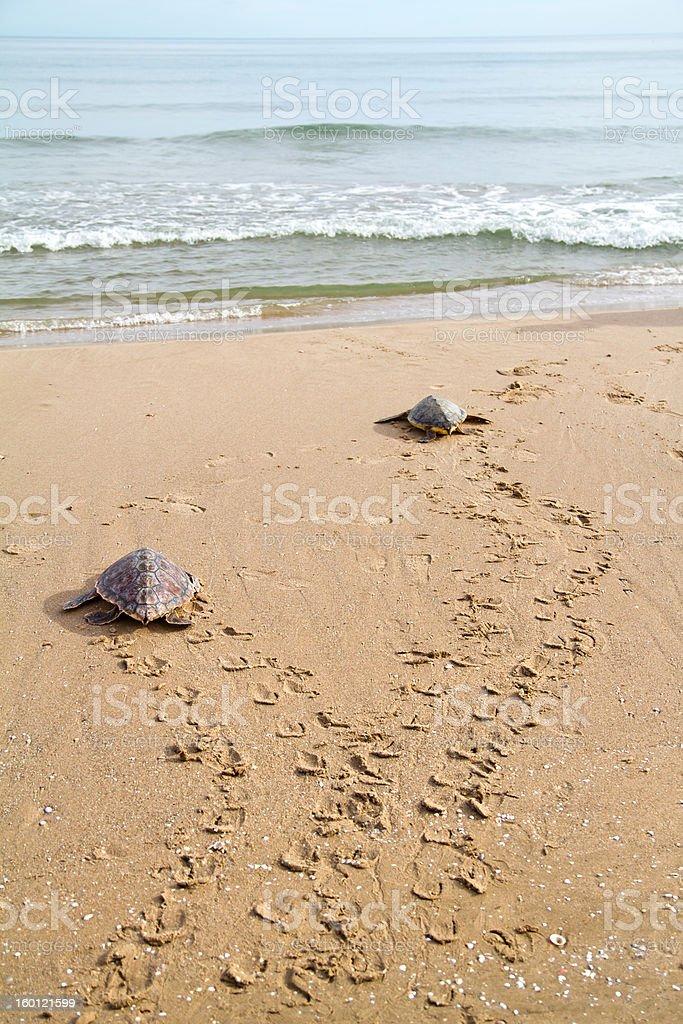 Loggerhead Sea Turtles (C. caretta) stock photo