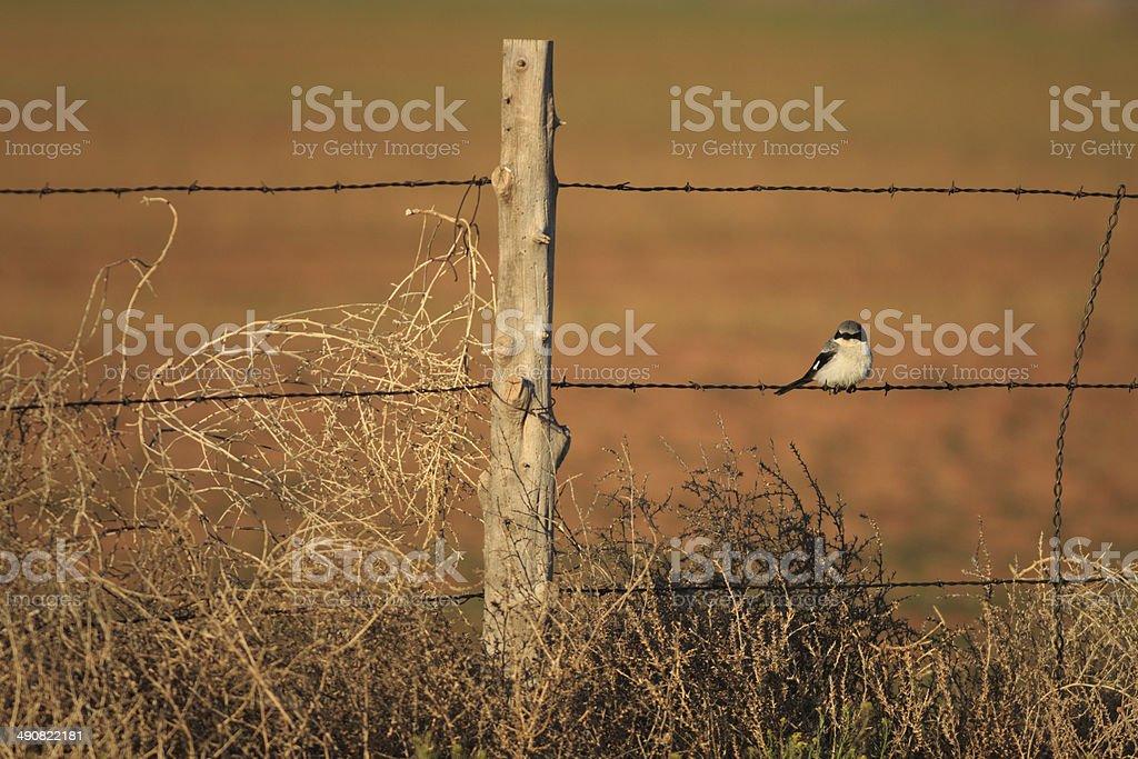 Loggerhead Shrike in Arizona royalty-free stock photo