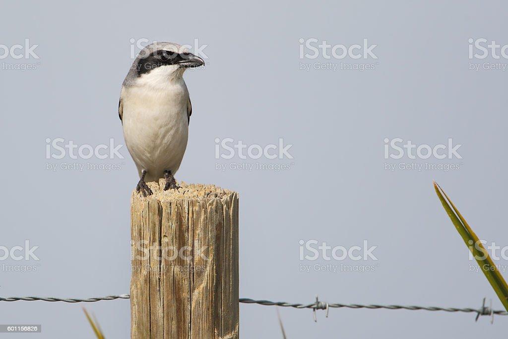Loggerhead shrike (Lanius ludovicianus) on fence post, Kissimmee, Florida, USA stock photo