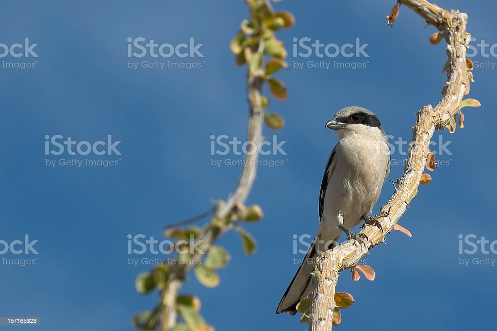 Loggerhead Shrike royalty-free stock photo