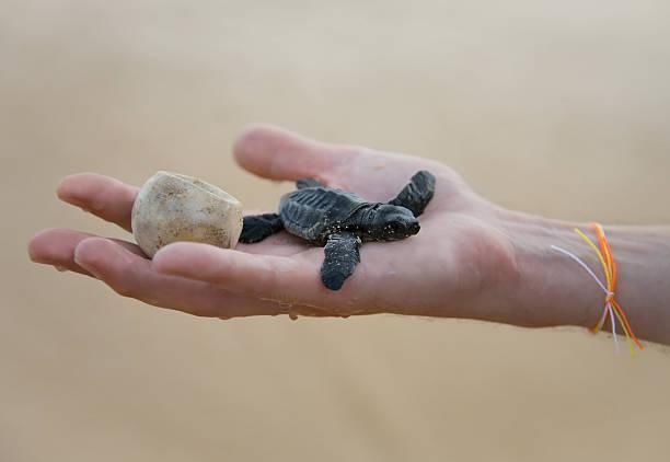 unechte karettschildkröte baby (caretta carretta) und ei auf seite - rettungsinsel stock-fotos und bilder