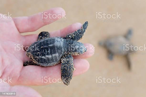 Loggerhead turtle baby picture id147800915?b=1&k=6&m=147800915&s=612x612&h=sygrpv1 n25y68xr4pjcftcl3udjqmimjktpilgfojg=