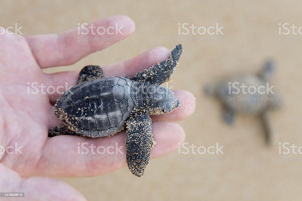 Loggerhead Turtle baby(Caretta carretta) stock photo