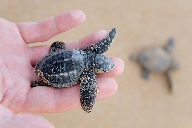 unechte karettschildkröte baby (caretta carretta) - rettungsinsel stock-fotos und bilder