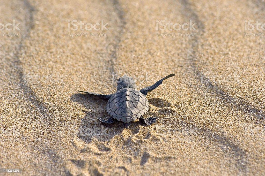 Cría de tortuga boba (C. caretta) stock photo