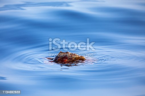 Loggerhead turtle in the ocean outside Funchal, the main city on the Portuguese island Madeira.