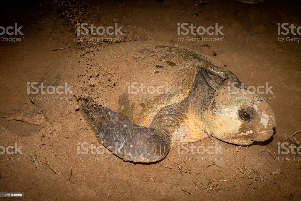 Loggerhead Turtle Nesting on Sand - Mon Repos Queensland Australia stock photo