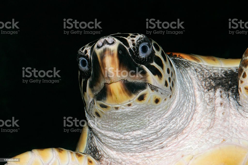 Loggerhead  turtle stock photo