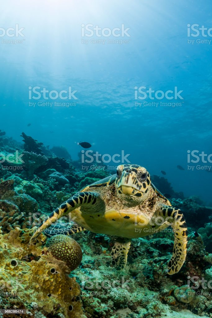 loggerhead turtle swimming over a coral reef with sun rays stock photo