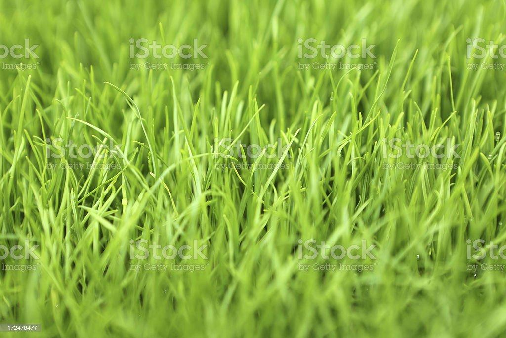 Lolium Perenne Grass stock photo