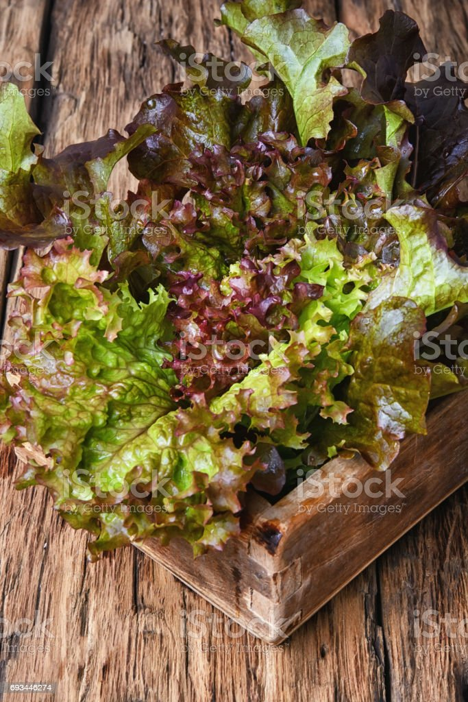 Lollo Rossa salad stock photo