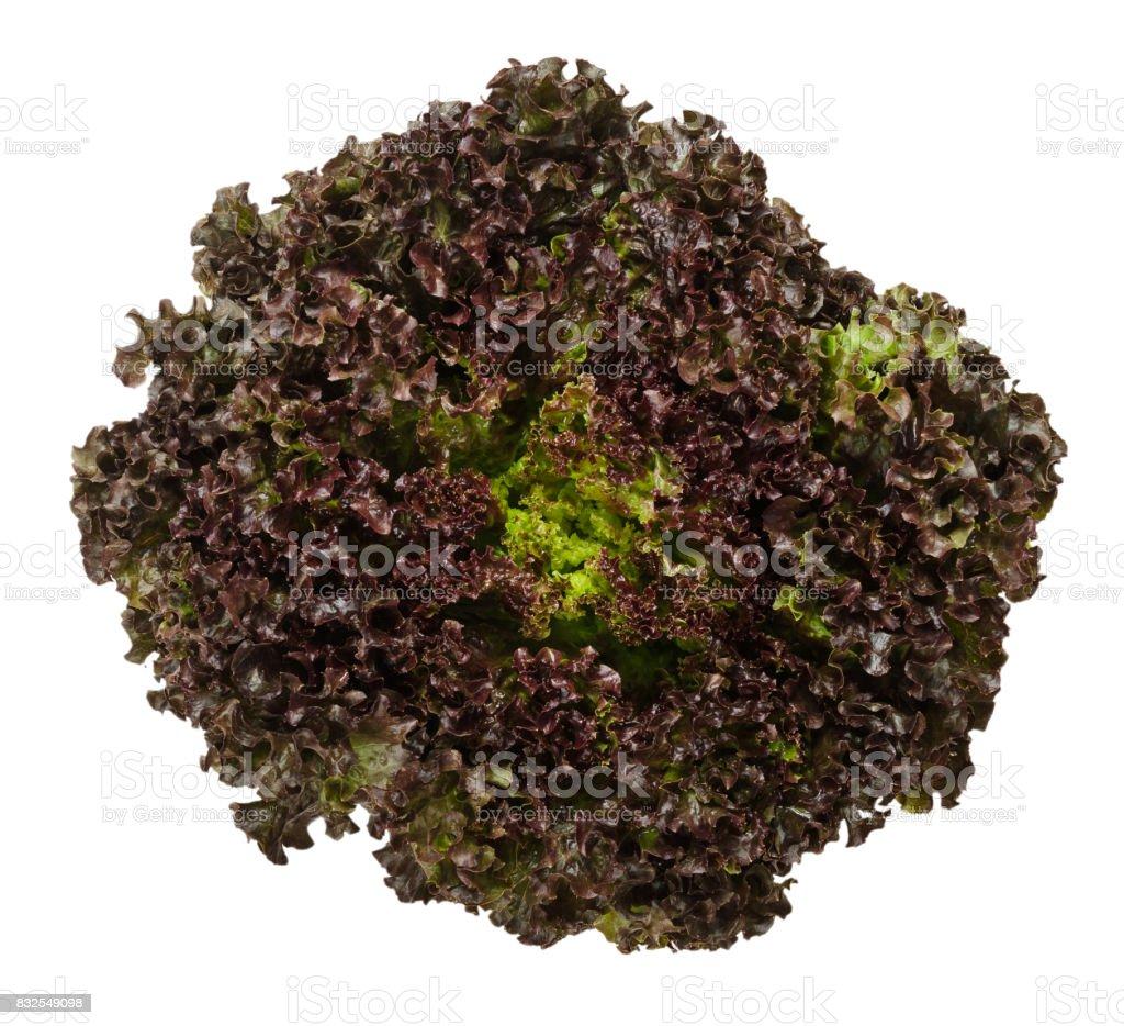 Lollo Rosso lettuce from above over white stock photo