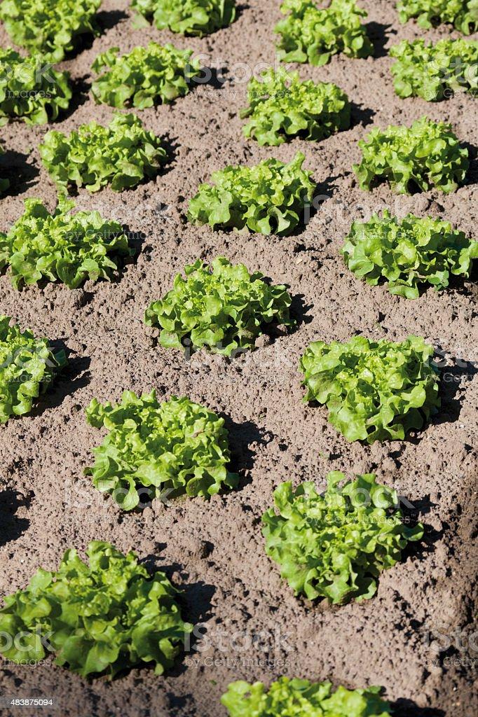 Lollo Rosso lettuce growing in field stock photo