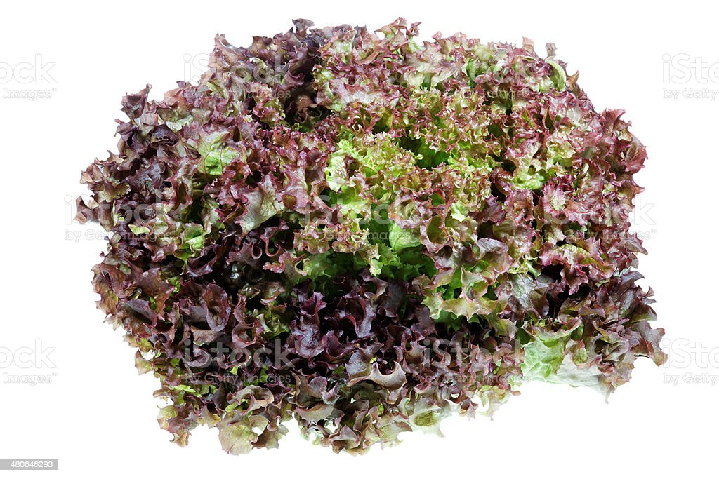 lollo rosso lettuce isolated on white stock photo