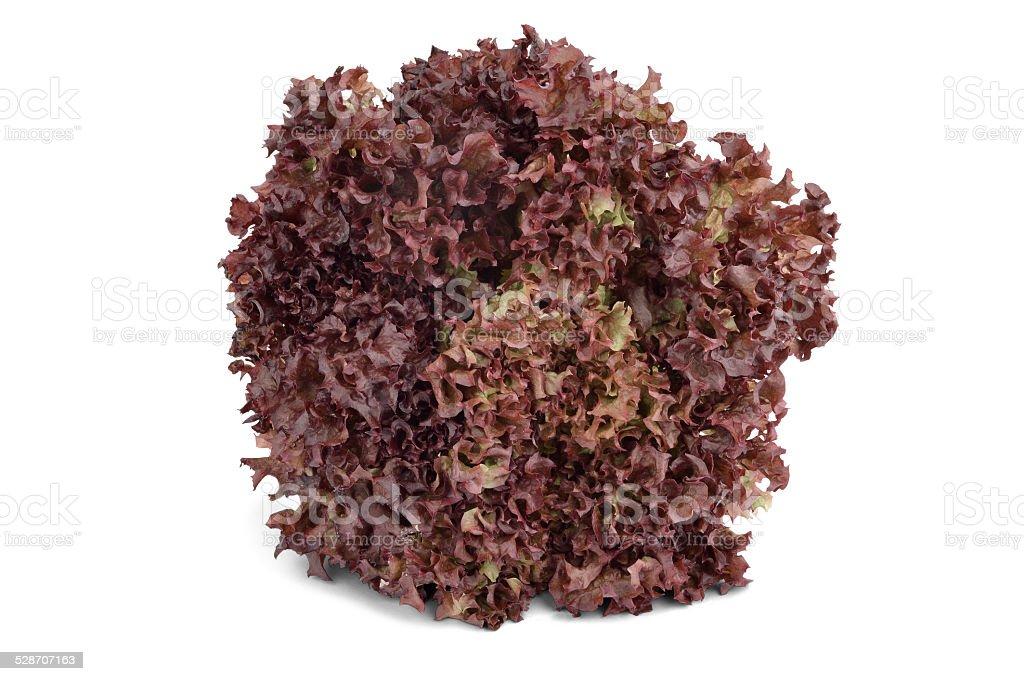 Lollo Rosso Lettuce - Stock Image stock photo