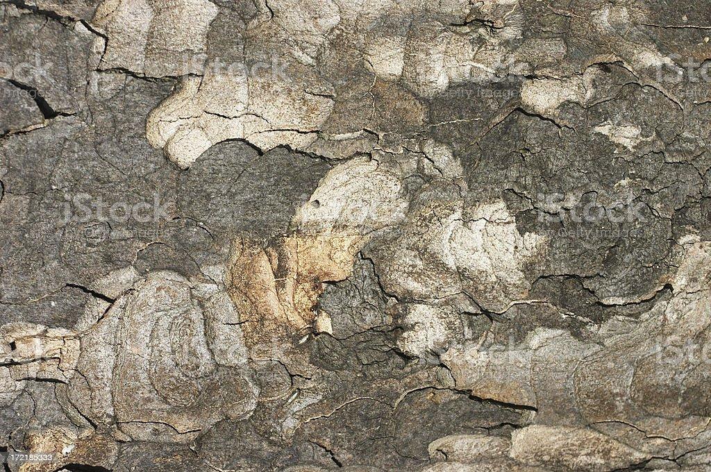 London plane Platanus x acerifolia bark background stock photo