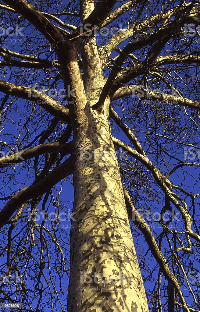 London Platano (Platanus x acerfolia foto stock royalty-free