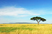 'Lone Acacia Tree amongst a golden field of grass in Serengeti National Park, Tanzania.'