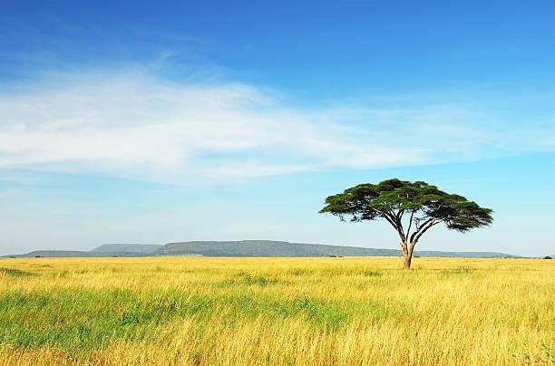 lone acacia tree, serengeti national park, tanzania - 平原 個照片及圖片檔