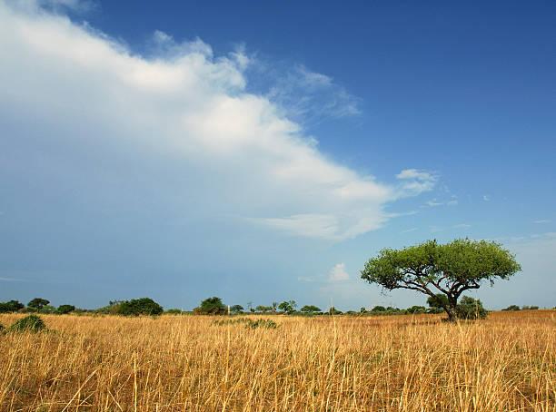 Lone Acacia Tree, Waza  National Park, Cameroon stock photo