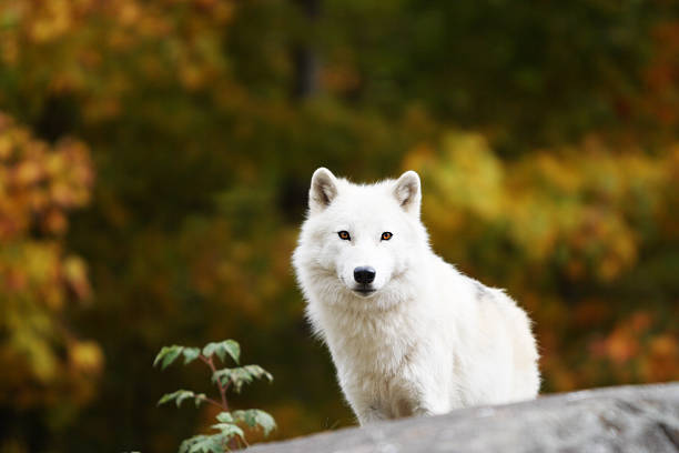 Lone Adult Arctic Wolf in Fall stock photo