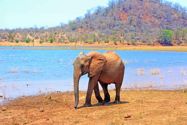 Ein einsamer afrikanischen Elefanten stehen am Wasser von Lake Kariba, Simbabwe – Foto