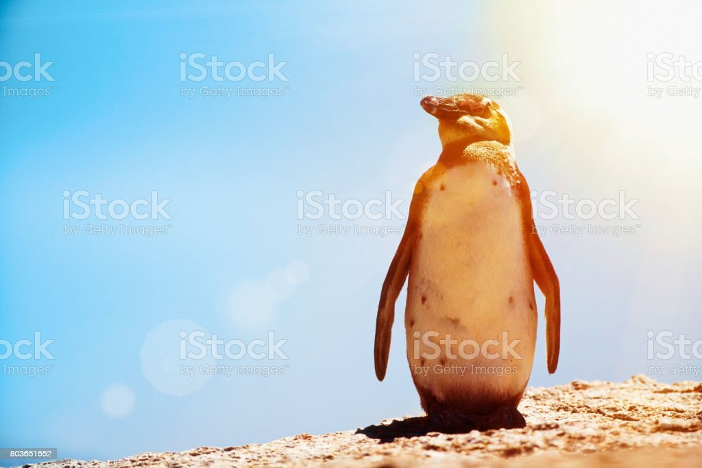 Lone African penguin stock photo