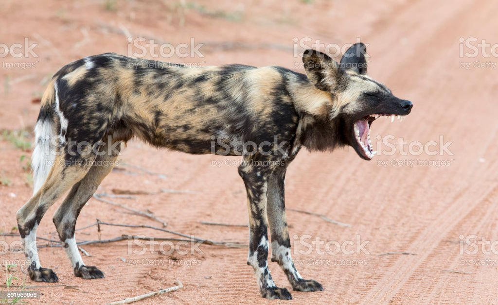 Lone African wild dog hunting calling to its mates stock photo