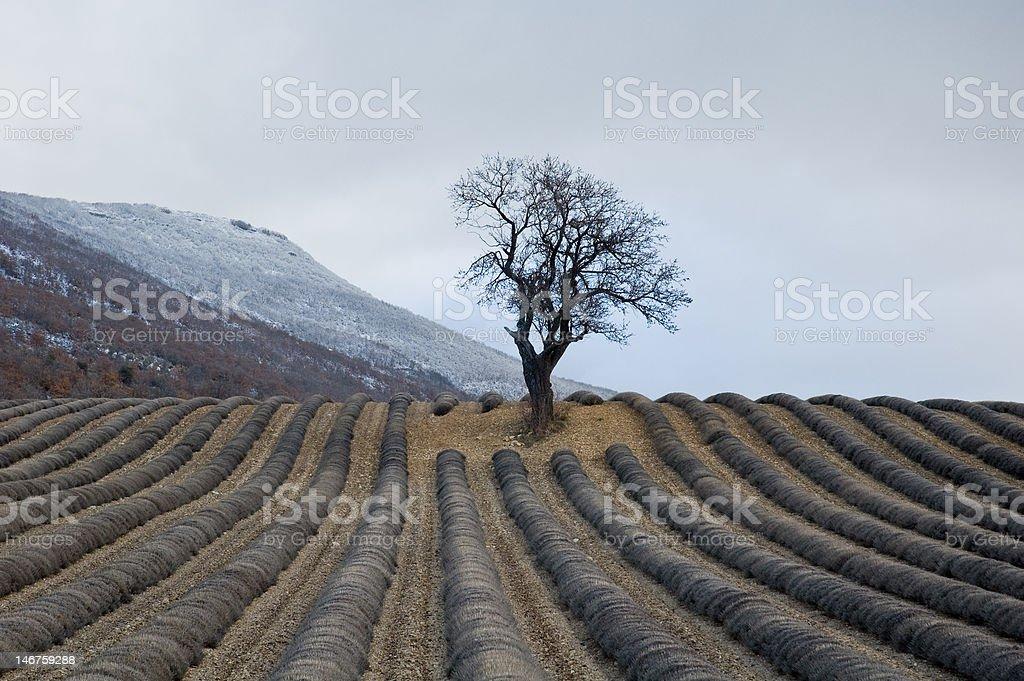 lone almond-tree in field of lavenders winters stock photo