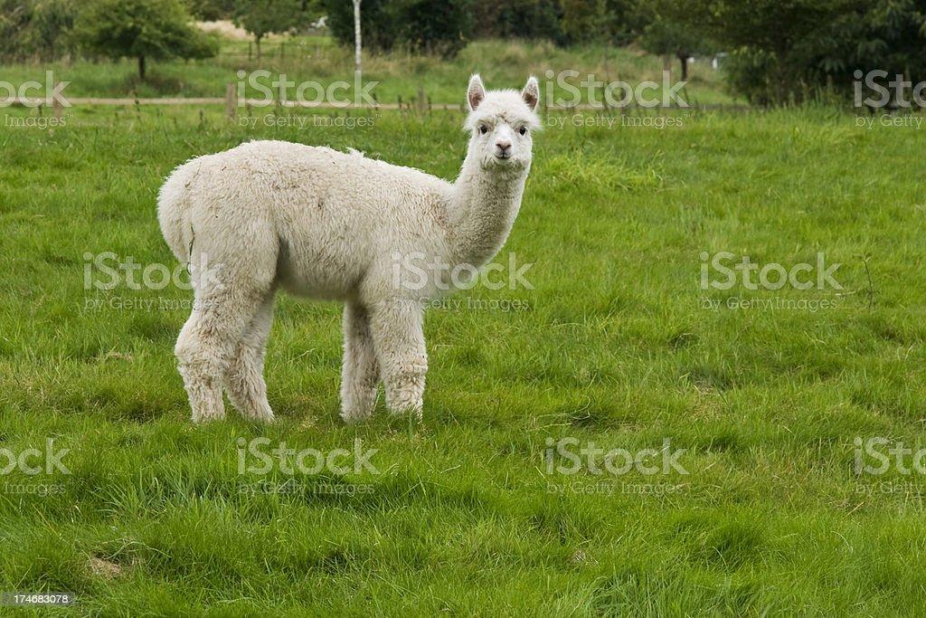 Lone Alpaca stock photo