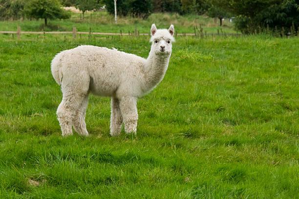 lone de alpaca - alpaca fotografías e imágenes de stock