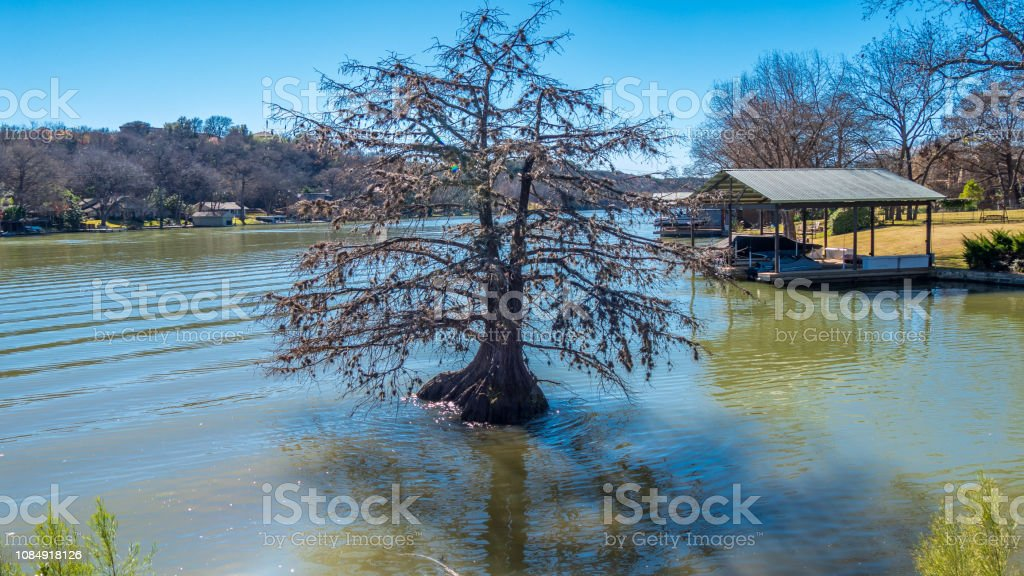Lone Bald Cypress tree in a river near the shore stock photo