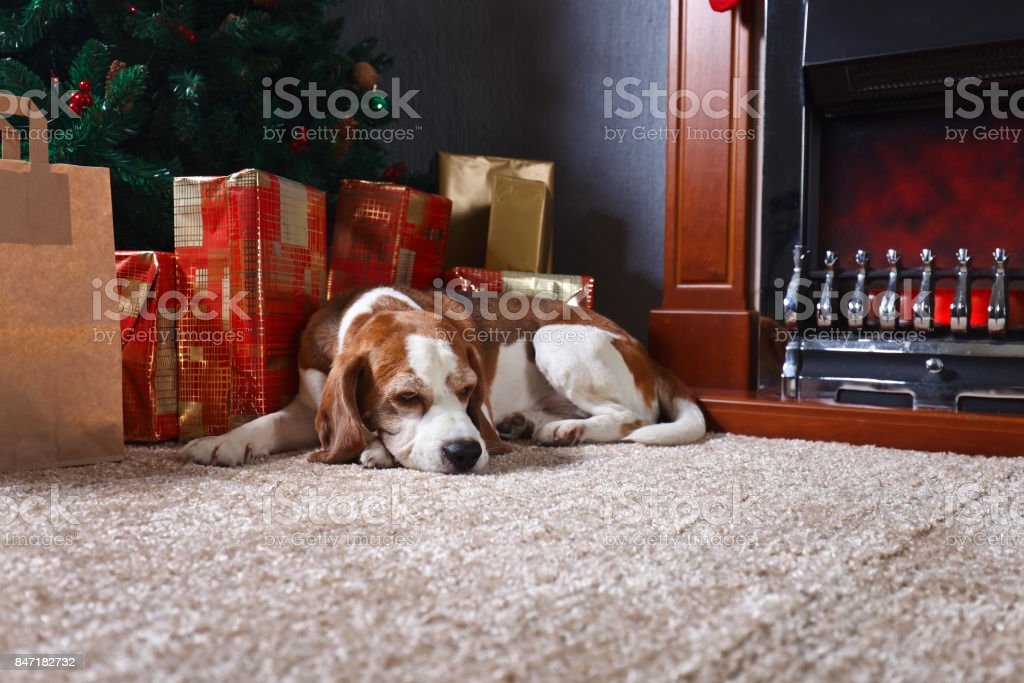 A lone beagle on the carpet with Christmas gifts in front of the fireplace in an empty room stock photo