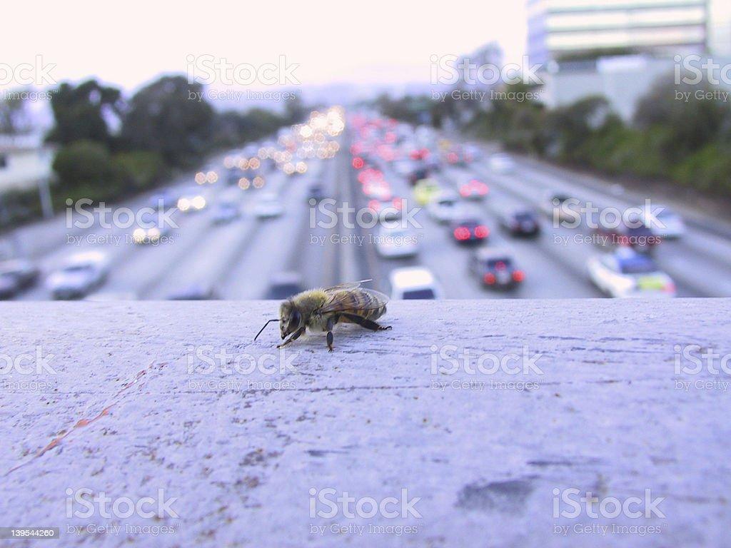 Lone ape nella giungla di cemento di Los Angeles - foto stock