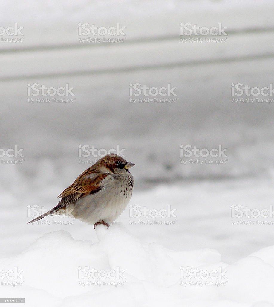 Lone Birdie on a Snow royalty-free stock photo