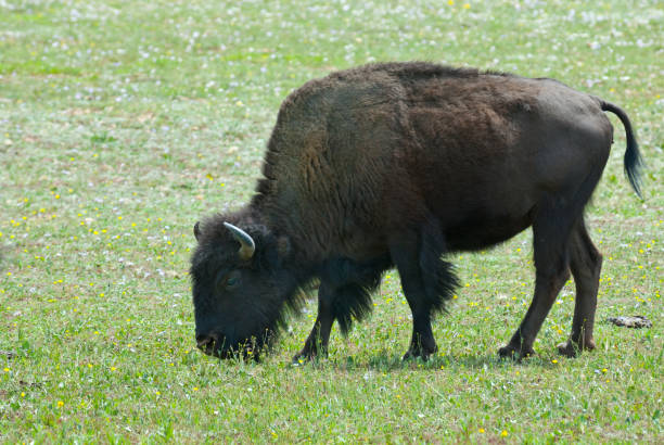lone bison near the grand canyon north rim - jeff goulden stock photos and pictures