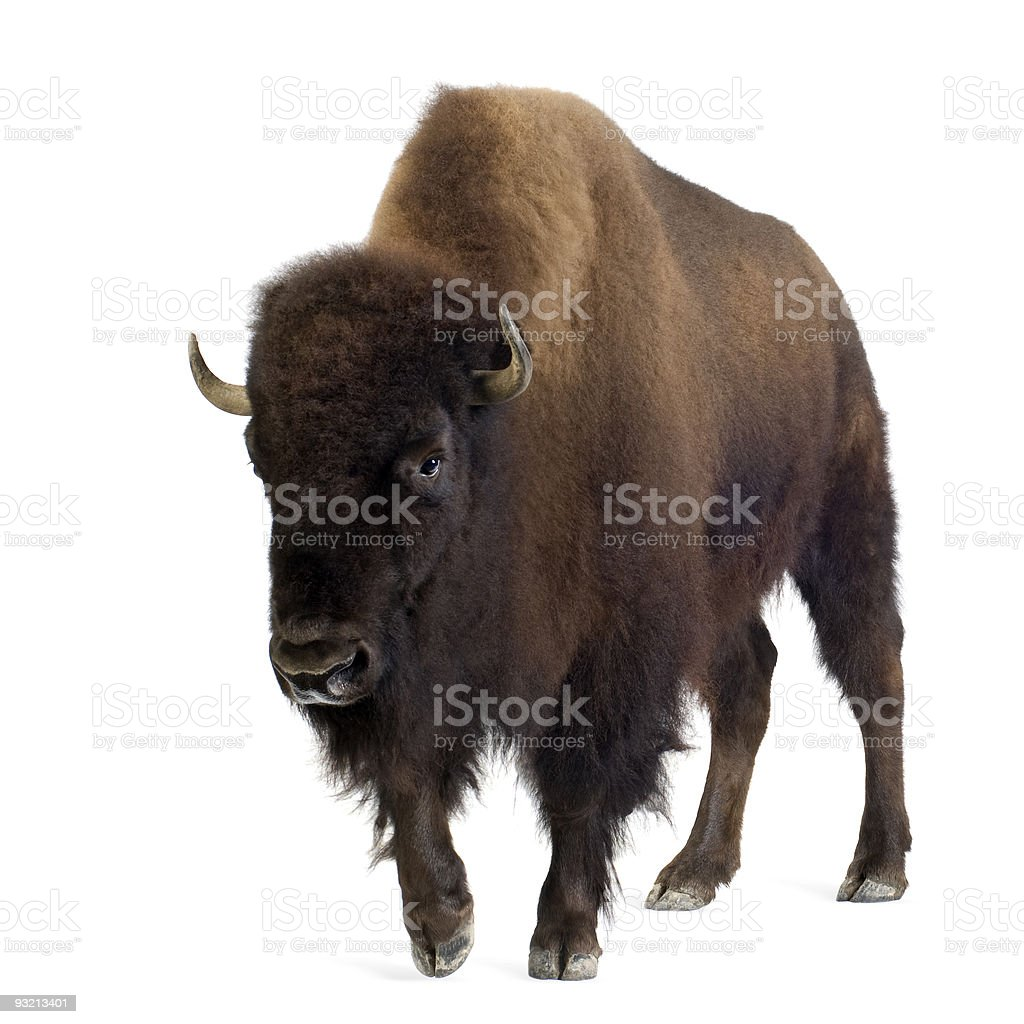 Lone bison on white background stock photo