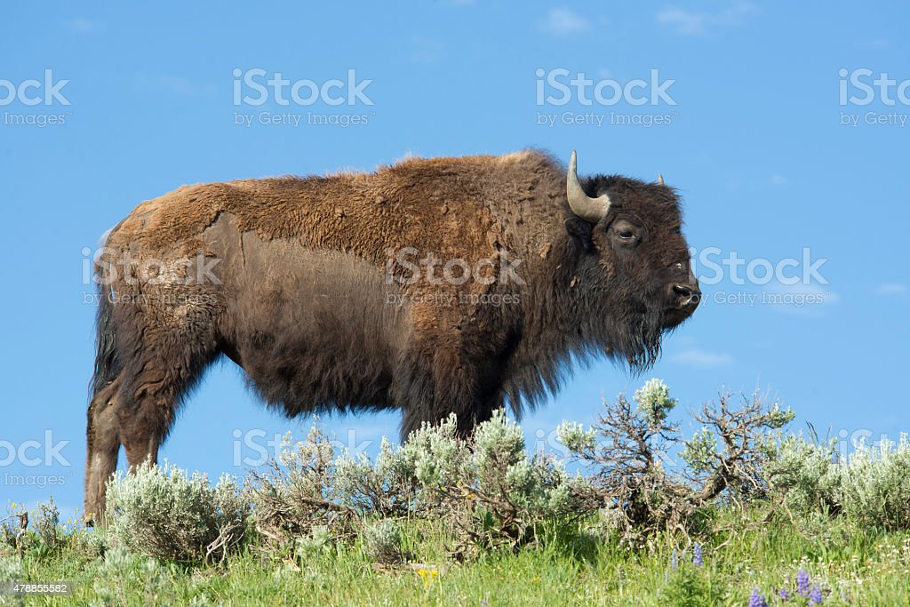 Lone Bison standing against a blue sky. stock photo