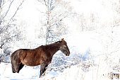 A lone black horse stands in the mountains in the snow in winter with his eyes closed and sleeps among the trees.