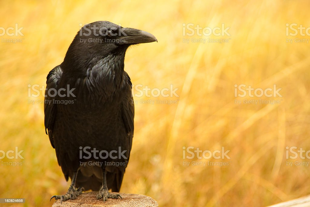Lone black sitting on a wooden stump over a yellow field stock photo