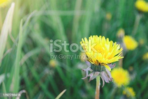 Lone blooming dandelion flower. Soft focus green meadow. Copy space.