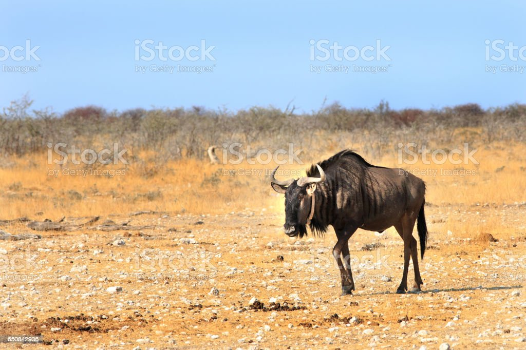 Lone Blue Wildebeest on the Etosha Pan in Namibia stock photo