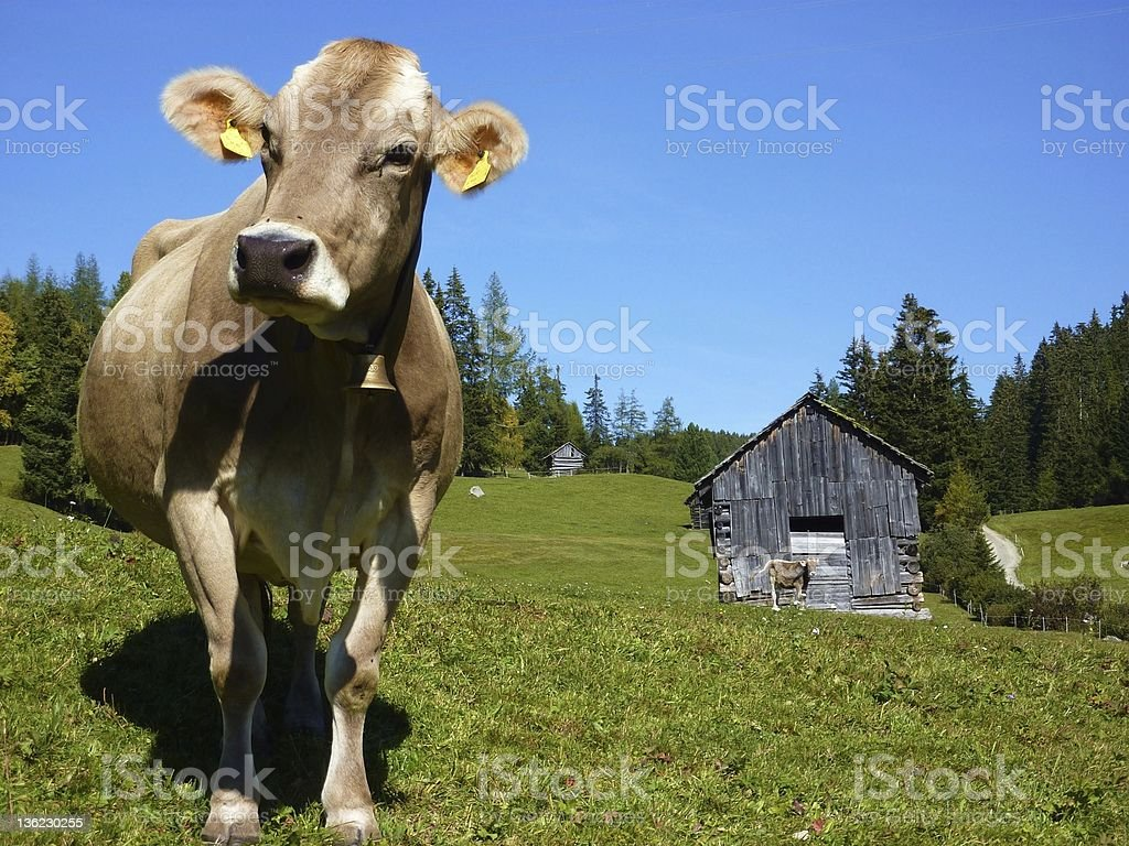 Lone brown cow on green grass with wooden outbuilding stock photo