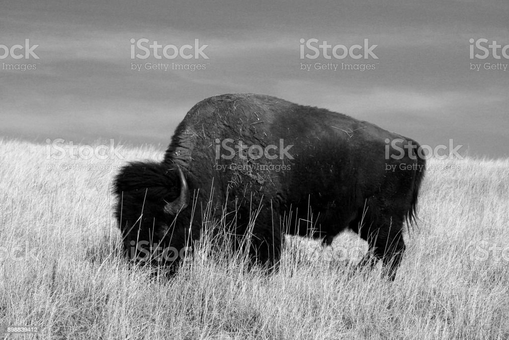 Lone Buffalo / Bison Bull grazing in Wind Cave National Park in the Black Hills of South Dakota United States stock photo