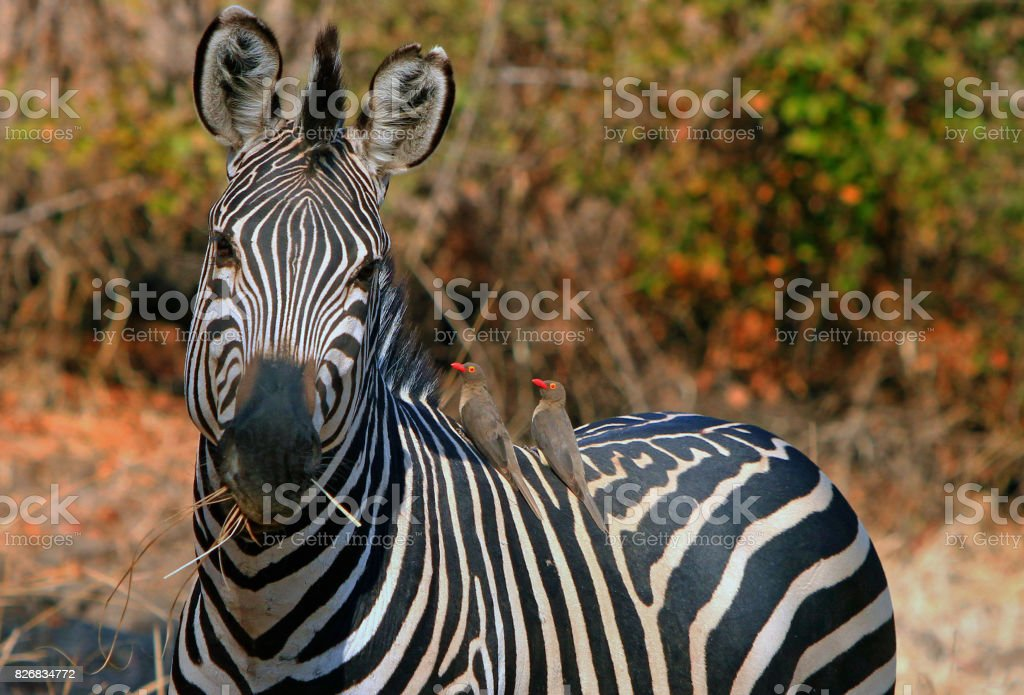 Lone Burchell Zebra with an oxpecker stock photo