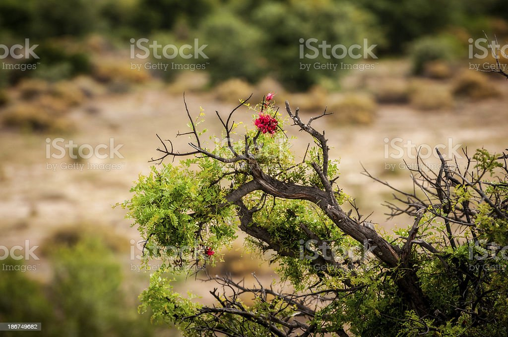 Lone Bush in South Africa royalty-free stock photo