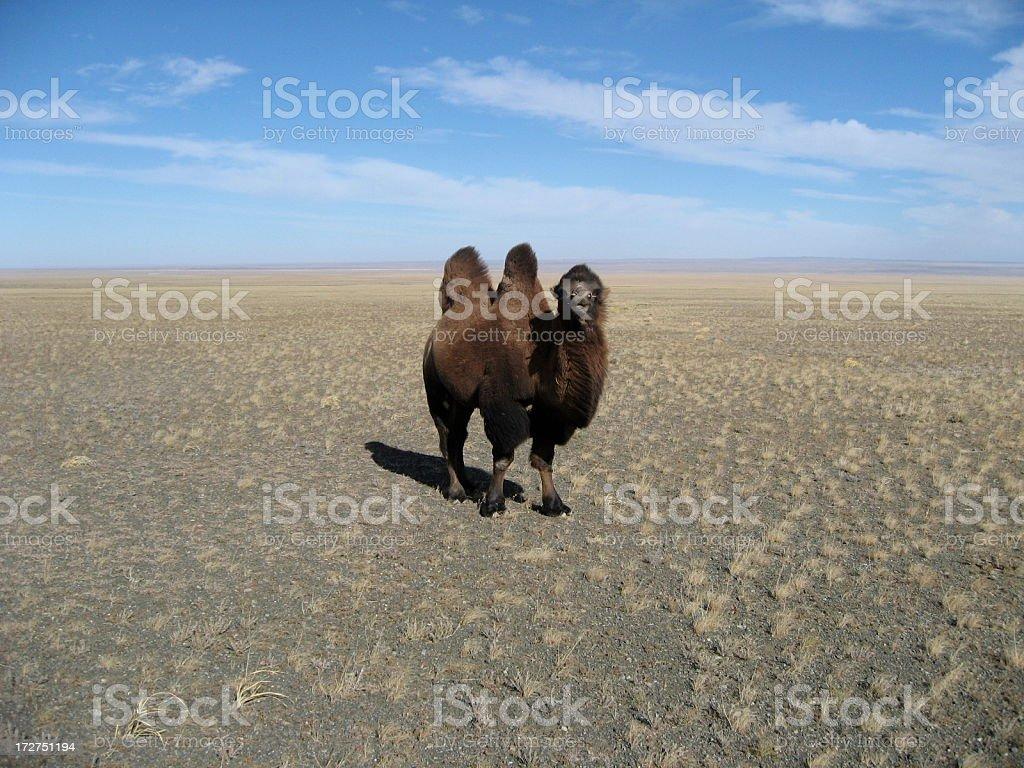 Lone Camel in the Gobi Desert Mongolia royalty-free stock photo