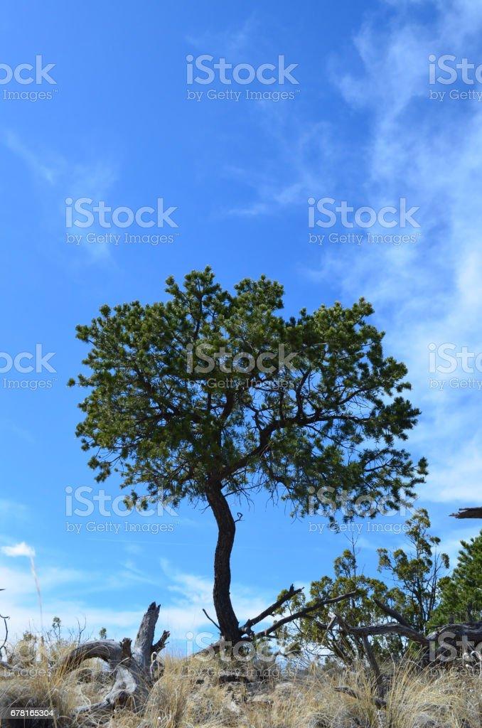 A lone cedar tree in high New Mexico desert. stock photo