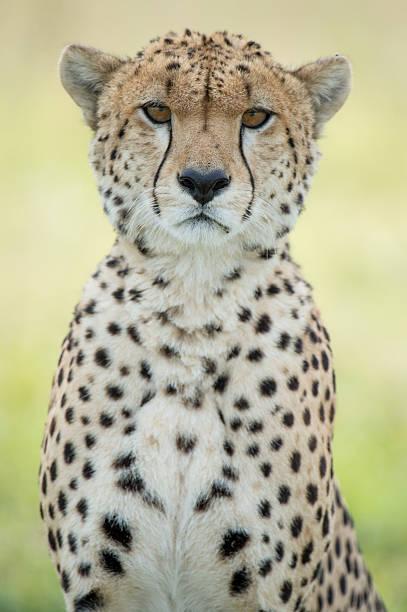 Lone Cheetah stock photo